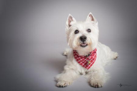Le chien au bandeau